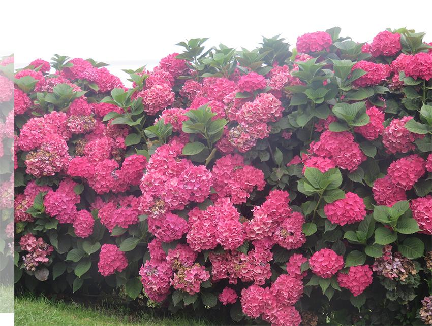 deco-naturaleza-primavera-asturias-hortensias
